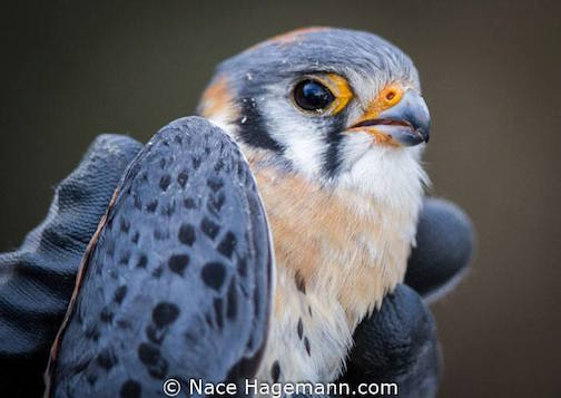 Male American Kestrel by Nace Hagemann.
