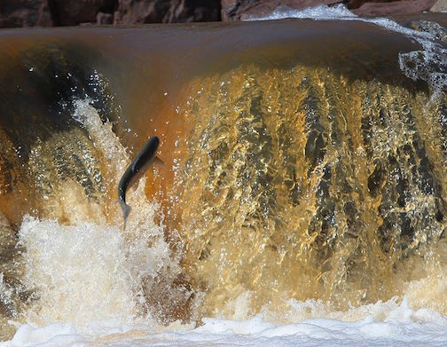 Steelhead on the Knife River by Sam Cook.