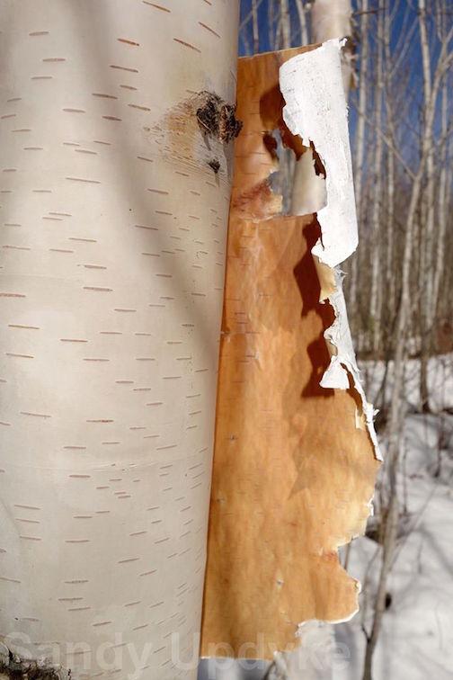 Birchbark by Sandra Updyke.