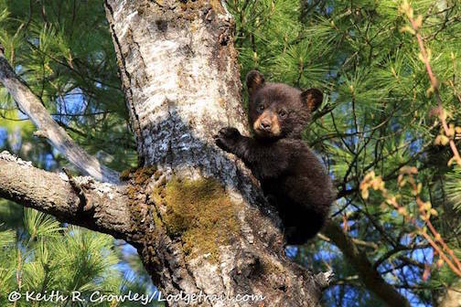 First Wisconsin Bear Cub of the Season by Keith Crowley.