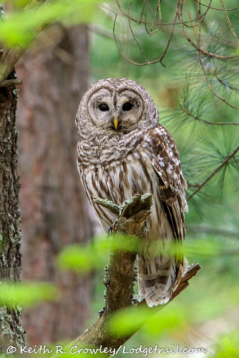 keith crowley owl baiter barred owl