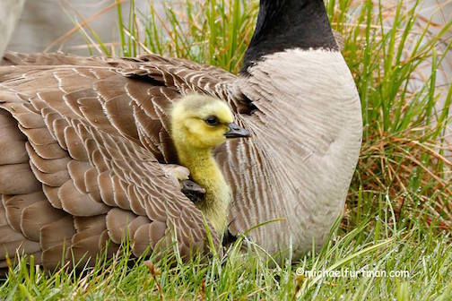 Goslings with egg tooth by Michael Furtman.
