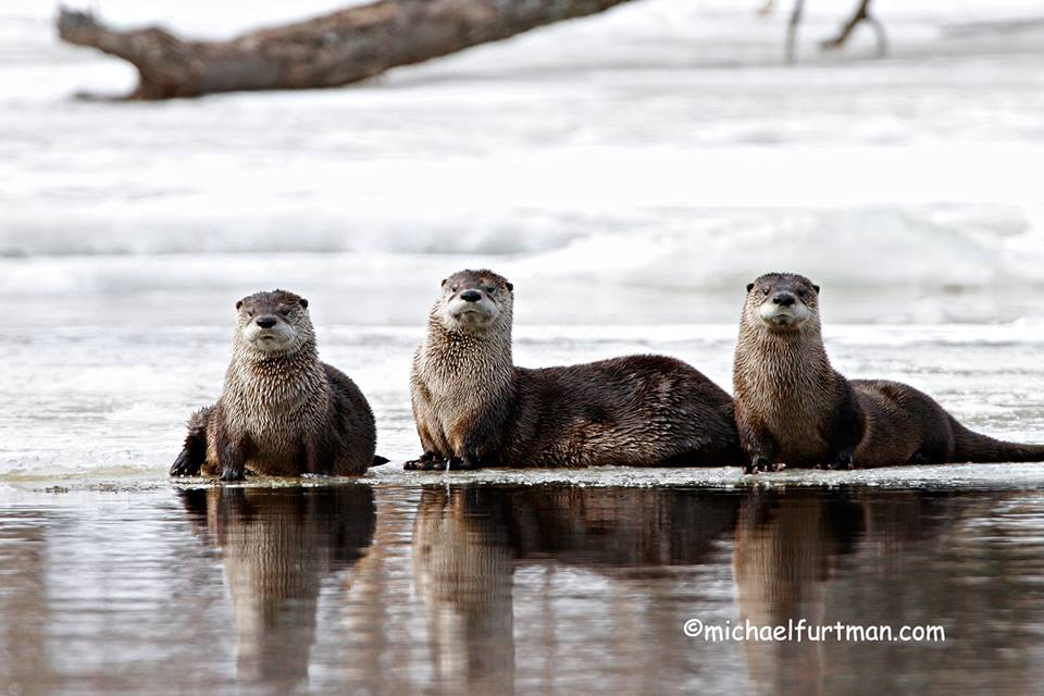 Northern River Otters by Michael Furtman.