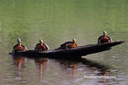 Painted Turtles sunning themselves by Michael Furtman.