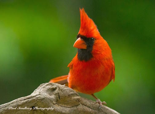 Northern cardinal by Paul Sundberg.
