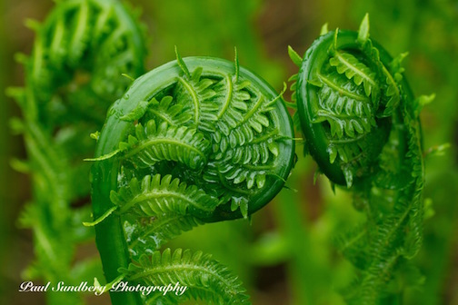 Fiddleheads by Paul Sundberg.
