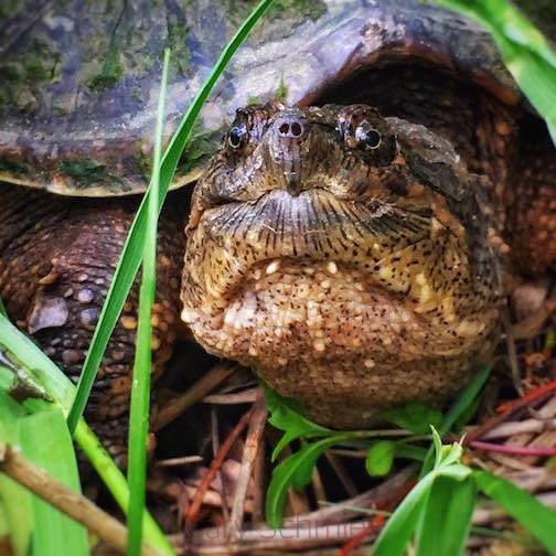 Snapping Turtle by Cary Schmies.