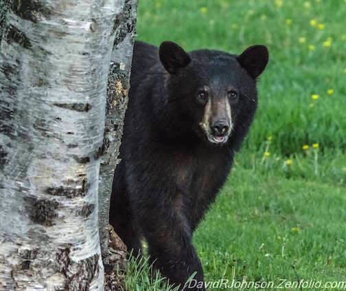 Black Bear by David Johnson.
