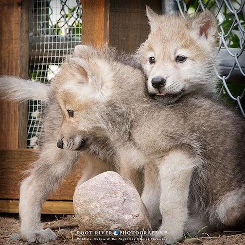 "Between Rock & Axel, ambassador Arctic wolves at Ely's International Wolf Center"" by Heidi Pinkerton."