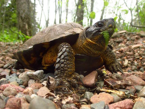 "Wood Turtles Like to Eat Ferns"" by Jean Fitts Cochrane."