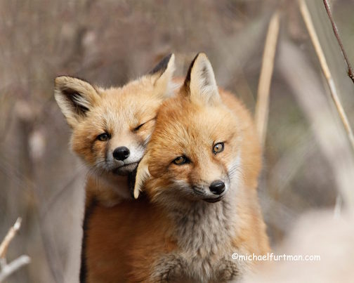 Fox kits by Michael Furtman.