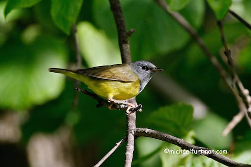 Mourning warbler by Michael Furtman.