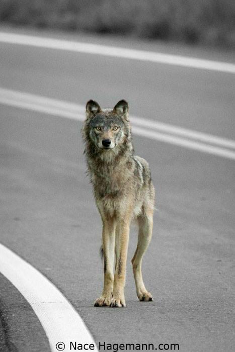 Wolf by Nace Hagemann.