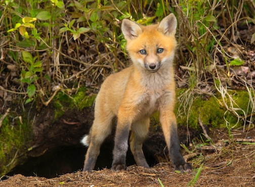 Fox kit by Paul Sundberg.