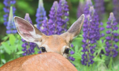 """Looker in the Lupine"" by Thomas Spence."