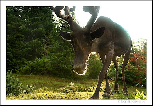 Layne Kennedy took this shot of a very curious caribou in the Slate Islands recently.
