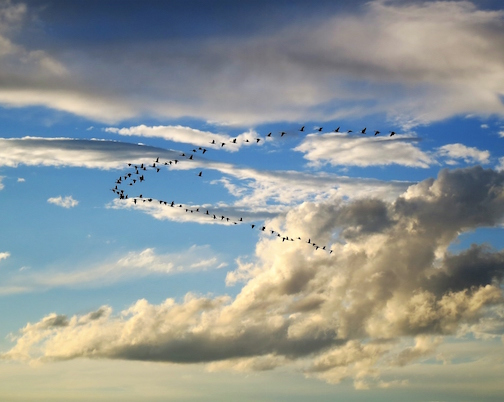 A flock of geese flying south by Betty Hamstad.