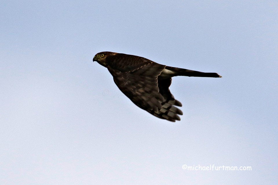 The raptor migration along the North Shore is on-going. Michael Furtman caught this sharp-shinned hawk flying at eye level at Hawk Ridge recently.