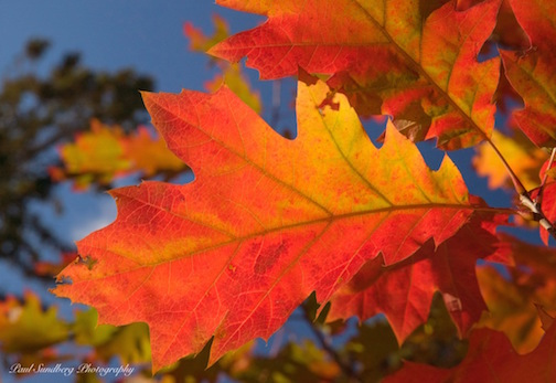 Oak Leaves by Paul Sundberg.