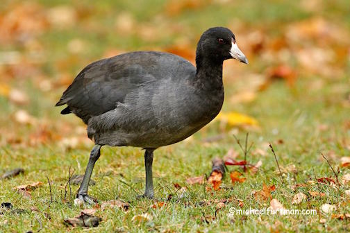 American Coot, out for a walk by Michael Furtman.