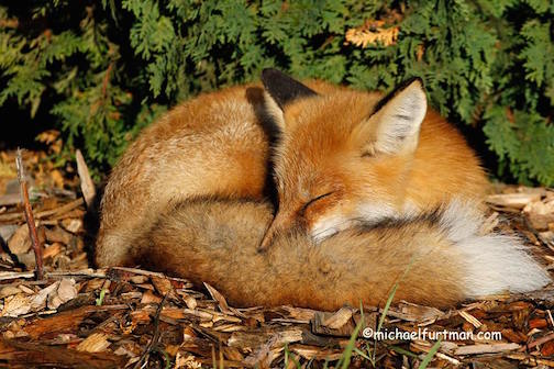 Red Fox taking a nap by Michael Furtman.