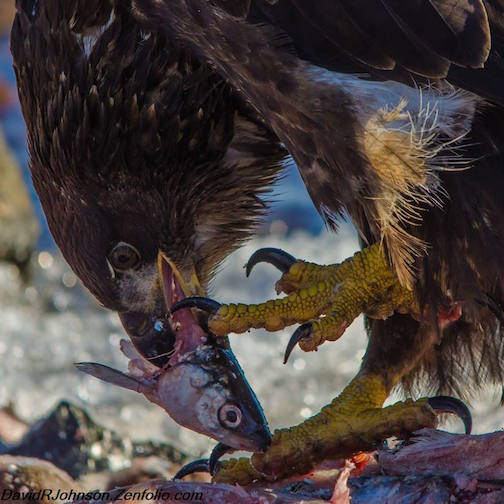 An eagle's lunch by David Johnson.