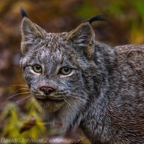 Lynx by David Johnson.