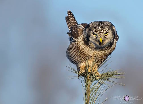 Hawk Owl by Kelly Marquart.