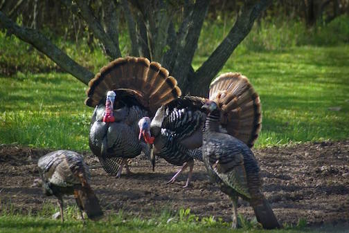 Thanksgiving turkeys by Marilyn Rau.