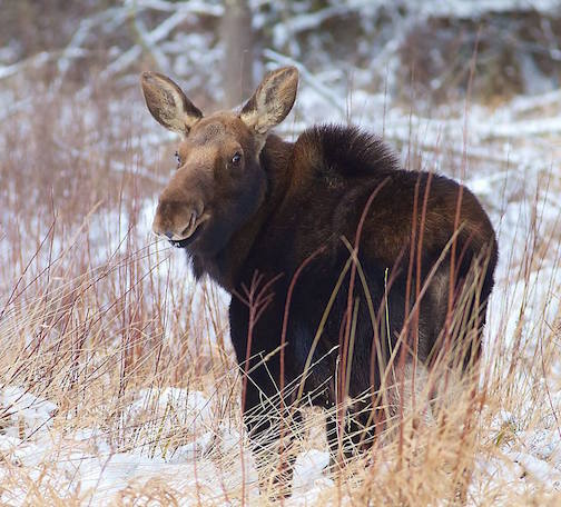 Sparky Stensaas caught this friendly cow moose in the Zak-Sim Bog earlier this week.