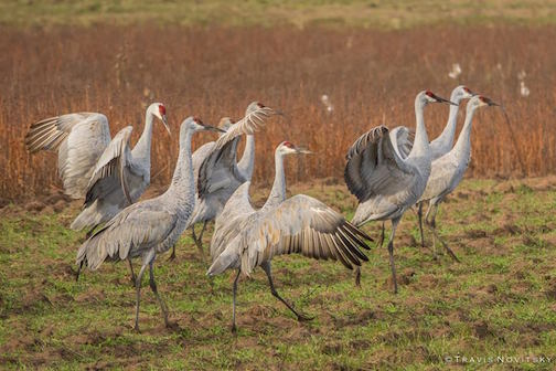 Cranes at Crex Meadows Wildlife Area in Grantsburg, Wis. by Travis Novitsky.
