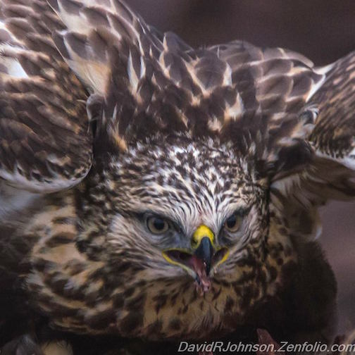 Up close with a rough-legged hawk by David Johnson.