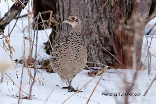 Secretive hen pheasant by Michael Furtman.