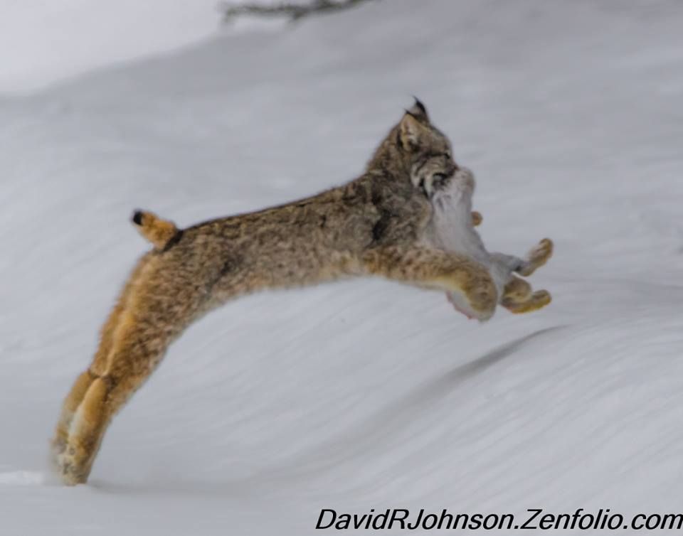 Young lynx gets a snowshoe hare.