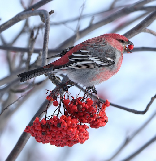 Pine Grosbeak by David Brislance.