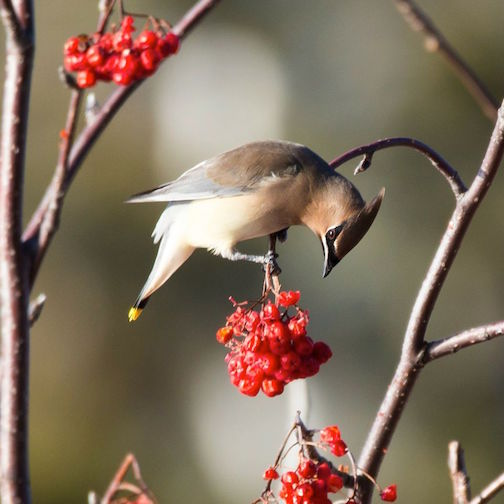 A waxwing with a discerning taste for a particular berry by Angela Botner.