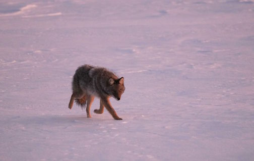 Chris Artist caught this coyote on the ice the other day. There were actually four of them in the pack.