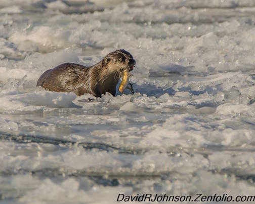 Otter Lunch by David Johnson.