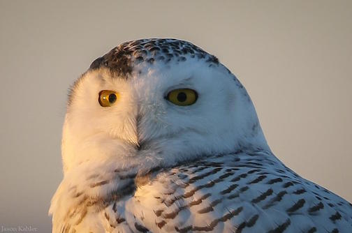 Snowy Owl by Jason Kahler.