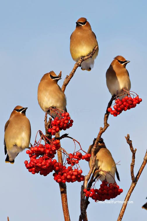 Cedar Waxwings by Michael Furtman.
