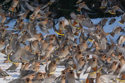 "A ""flutter"" of Bohemian Waxwings, by Paul Sundberg."