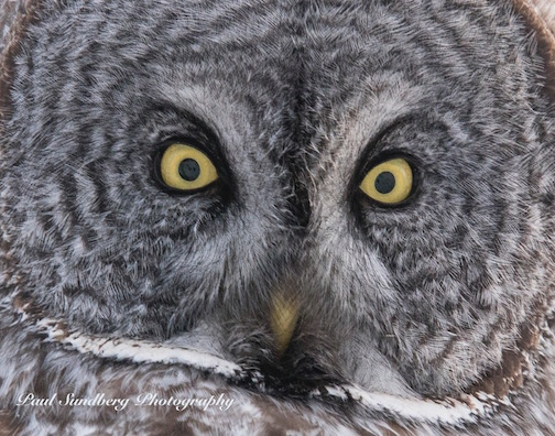 Great Gray Owl by Paul Sunderman.