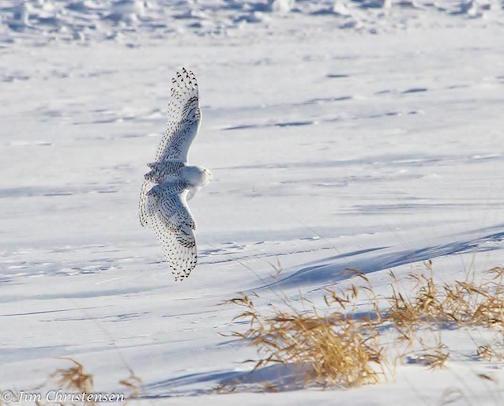 Snowy Owl by Jim Christiansen.