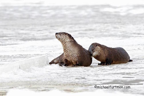 "Everyone ""otter"" have a special someone on Valentine's Day by Michael Furtman."
