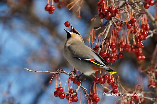 A little Bohemian Waxwing Action by Michael Furtman.