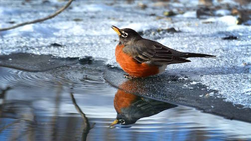 American Robin in January by Travis Bonovsky.