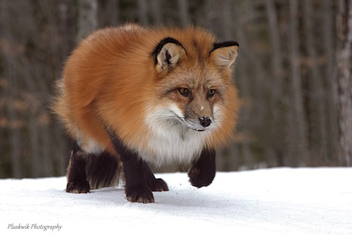 Red Fox on the Hunt by Paul Pluskwik.