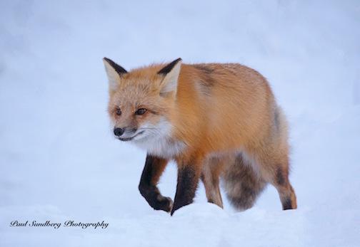 Red Fox by Paul Sundberg.