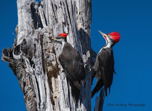 Pileated Woodpeckers by Paul Sundberg.