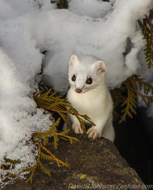 Little Weasel Taking a Peek by David Johnson.